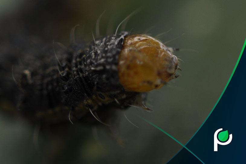 Lagarta em estudo de entomologia da pesquisa Phytus