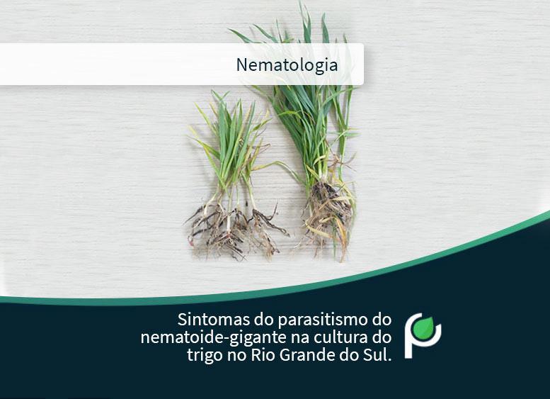 Sintomas do parasitismo do nematoide-gigante (Tubixaba tuxaua) no RS