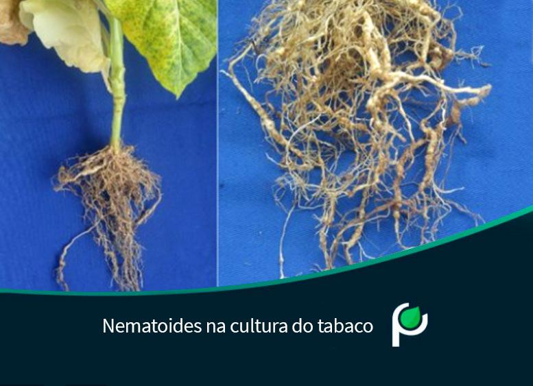Nematoides na cultura do tabaco